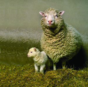 Dolly the Sheep with her first born lamb, called Bonnie.