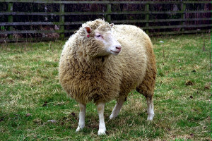 Image of Dolly the Sheep in a field at The Roslin Institute.