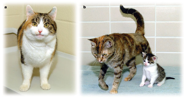 Rainbow (left) and CC and her surrogate mother (right). Although CC is Rainbow's clone and they share the same nuclear DNA, their coat markings are noticeably different. Image reprinted by permission from Macmillan Publishers Ltd: Nature (Shin T et al. 'Cell biology: A cat cloned by nuclear transplantation'), copyright (2002)
