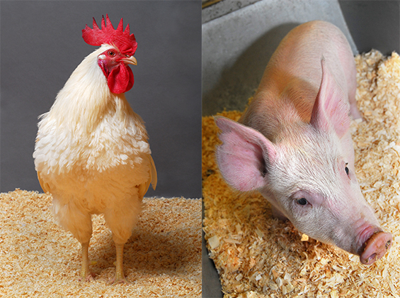 Genetically modified chicken and pig