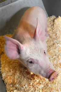 Pig 26 was the world's first genome edited pig. She was made by researchers at The Roslin Institute.