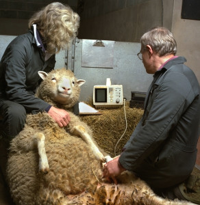 Dolly having an ultrasound scan during one of her pregnancies.